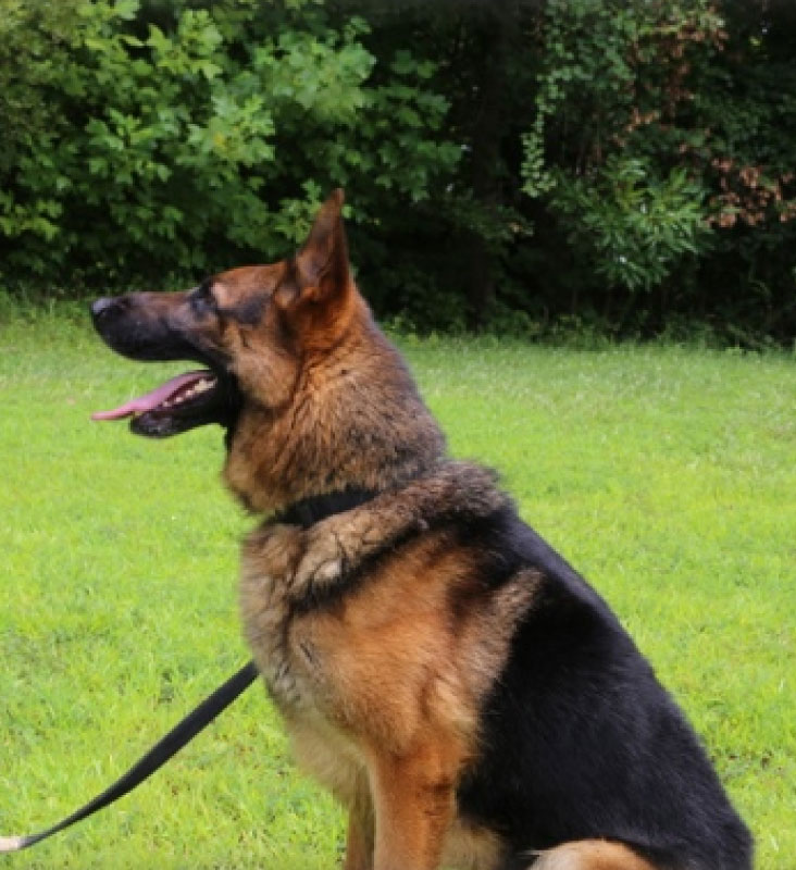 Dogs for Sale, Police K9′s for Sale, Protection Dogs…